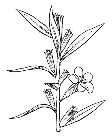 This is floral branch of Lythrum. It has narrow stalkless leaves and flowers are purple, pink and white in color, vintage line drawing or engraving illustration.