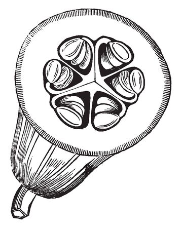Picture showing the fruit of Gourd. It is fleshy one-celled many-seeded berry that has a hard rind, vintage line drawing or engraving illustration.