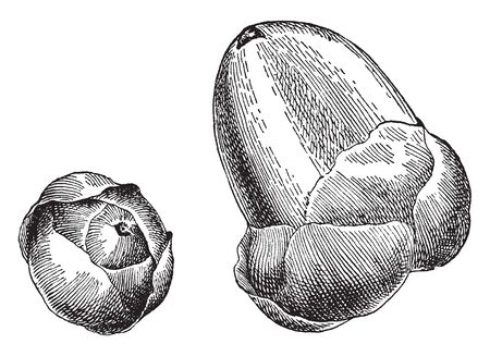 This frame shows the process of becoming a coconut. When coconut is formed, they look like nuts, vintage line drawing or engraving illustration.