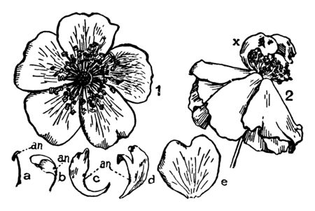 A picture, that's showing a wild rose flower. This picture, that's showing a Anther, petal, pedicle this is all inner part of flower, vintage line drawing or engraving illustration.