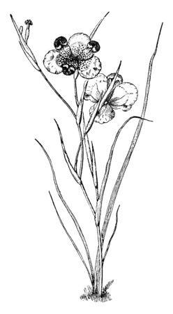 The plant leaves narrow and Lanceolate, flowers have three petal and filament widely spread, vintage line drawing or engraving illustration.  イラスト・ベクター素材