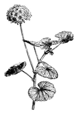 Pelargonium Inquinans is a soft, woody shrub with a height of up to 2 m. The leaves are orbicular with crenate or finely toothed margins and have a velvety feel and glands, vintage line drawing or eng  イラスト・ベクター素材