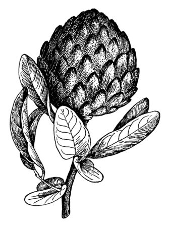 This is a branch of tropical fruit tree having large sized fruit on it. Fruit pulp is cream coloured, vintage line drawing or engraving illustration.