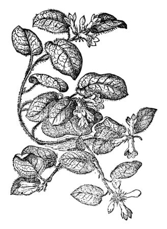 This picture shows Trailing Arbutus Plant. It is a spreading shrub in Ericaceae family of heaths. Oval leaves and having tiny hairs on it, terminal clusters of fragrant pink or white flowers, vintage line drawing or engraving illustration. Çizim