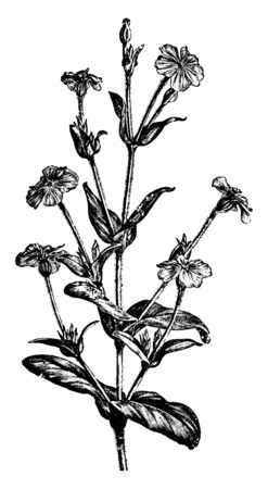This is a flowering branch of Lychnis Coronaria. It has white-gray flowering stalks with rounded white flowers, vintage line drawing or engraving illustration.