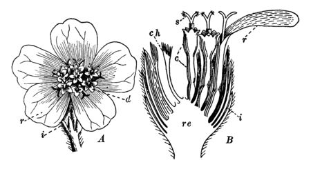 This picture shows the part of Yarrow flower parts. In part A is head of yarrow and B part define the whole section of this flower, vintage line drawing or engraving illustration.