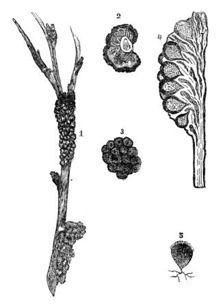 Illustrations depicting a black knot of a plum. It represents various parts of a plum such as general appearance, a cross-section, branch of a plumtree, a typical representation of the Perithecia, etc, vintage line drawing or engraving illustration.