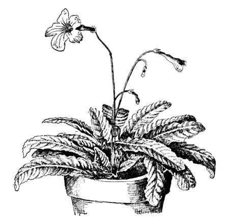 This pictures showing a streptocarpus rexii. This is from Gesneriaceae family. Each leaf grows separately from the base of the plant. The pedical is thin long. A plant growing into pot, vintage line drawing or engraving illustration. Ilustrace