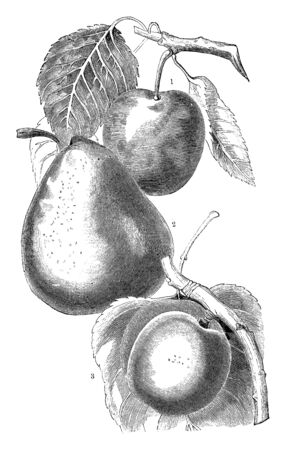 A picture showing variety of pears including Imperial Gage, Jalousie de Fontenay Vendee and Breda, vintage line drawing or engraving illustration. 일러스트