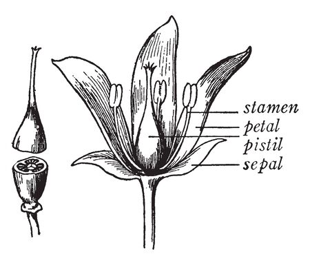 The Picture shows parts of the flower plant. It shows the stamen, pistil, sepal, and petal. Second picture shows the cut pistil structure having three carpels joined at center into a mass, vintage line drawing or engraving illustration.