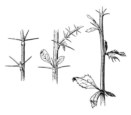 In the picture there are three thorny branches, there is no leaf on the left stem. Leaves are tiny shaped, vintage line drawing or engraving illustration.