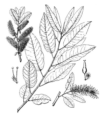Picture of Balsamifera Salix leaves. It is a frost tolerant, suckering pioneer, good soil stabilization, rapidly spreading, tolerates salt, urban sites and smoke, vintage line drawing or engraving illustration.