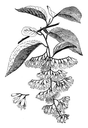 The common name of Halesia is silver bell or snowdrop tree. Halesia hispida flowers are white, vintage line drawing or engraving illustration.