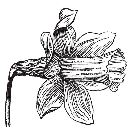 A picture is showing Daffodil Flower. This flower has trumpet-shaped and bright primrose yellow color, vintage line drawing or engraving illustration.