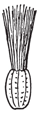 Inflorescence on head surrounded, florets closely arranged, vintage line drawing or engraving illustration.