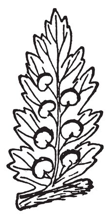 Fern fronds are the leaves of ferns. The stem of a typical fern is subterranean or horizontal on the surface of the ground, vintage line drawing or engraving illustration. Illustration
