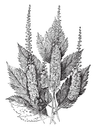 A small genus of perennial herbs of north temperate regions, vintage line drawing or engraving illustration.  イラスト・ベクター素材