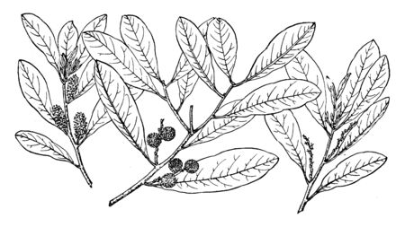 A picture of branch of Myrica Inodora.Myrica Inodora is a plant species native to the coastal plains on the northern shore of the Gulf of Mexico, vintage line drawing or engraving illustration.