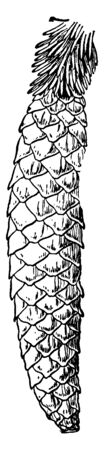 Spruce Fir Cone is pyramidal in shape with whorled branches, vintage line drawing or engraving illustration. Reklamní fotografie - 133252057