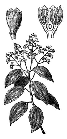 Picture showing the branch of Cinnamon plant with flowers and leaves. It is a plant that yields cinnamon i.e. spice, oil, and flavoring, vintage line drawing or engraving illustration.