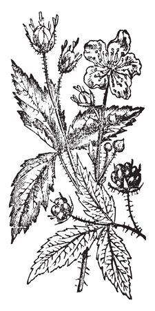 A picture is showing Dewberry. This plant has thorns on branch and having weaker and more prostrate roundish stems. Fruits are much larger than those of the brambleberry, vintage line drawing or engraving illustration.