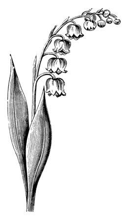 Dies ist Blühender Stiel des Maiglöckchens, ihre Blüten sind glockenförmig und diese Blumen hängen vom Stiel, Vintage-Linienzeichnung oder Gravurillustration.