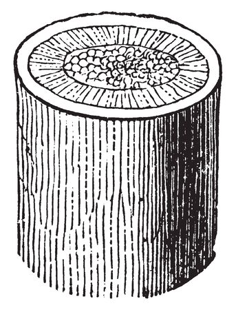 This picture showing a stems of flax. The stem is thick and rounded. In this image showing an inner part of stem, vintage line drawing or engraving illustration. Ilustracja