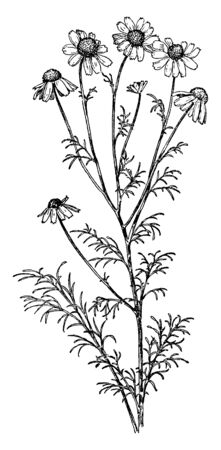 A picture is showing branch and flowers of Anthemis Cotula also known as may-weed and dog fennel. The flowers of antenaria margaritacea are small in size, vintage line drawing or engraving illustration. Ilustracja