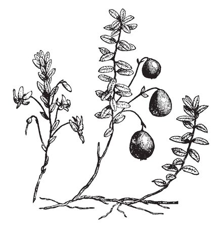 This is the Cranberry. Cranberry juice is usually sweetened. Fruits are spherical. Leaf is small Egg-shaped. Cranberries grow on low-lying vines in beds layered with sand, peat, gravel and clay, vintage line drawing or engraving illustration.