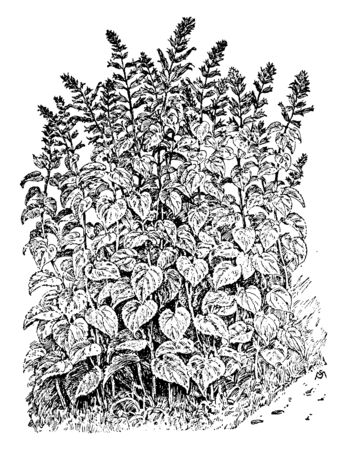 A picture shows Salvia Splendens Plant. Leaves are heart shaped and it is typically grown as a warm weather annual bedding plant. Flowers are red color, vintage line drawing or engraving illustration. Illustration