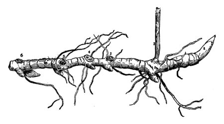 This pictures showing a smilacina rootstock. It is grows underground. It is reproductive structure, vintage line drawing or engraving illustration.