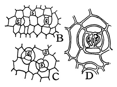 This image showing stomata formation. Its look like net, vintage line drawing or engraving illustration.