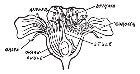 In this image are show you Anther, Stigma, calyx, ovary, ovule, corolla Parts of Cherry Blossom, vintage line drawing or engraving illustration.