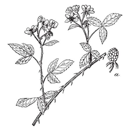 A picture of blackberry plant. The branches are thorny and hairy, and leaf is composed of three single leaflets. Flowers growing on branches ends, vintage line drawing or engraving illustration. Illustration