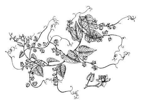 This picture shows a flower named as Antigonon Leptopus album also known as White Rose of Montana, which is a beautiful climbing perennial which produces sprays of lacy white flowers all summer, vintage line drawing or engraving illustration. Ilustração
