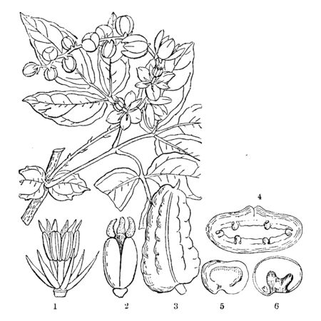 A picture showing Lardizabala. 1 is petals and stems of male flower; 2 is carpels; 3 is fruit of a lardizabala; 4 is a cross section of it; 5 is a seed and 6 is the section of it, showing the embryo, vintage line drawing or engraving illustration. 矢量图像