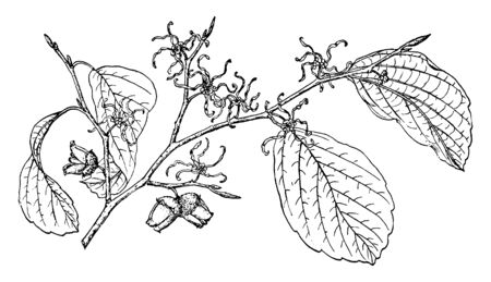 A picture showing the branch of Witch Hazel, also known as Hamamelis Virginiana which is native to the eastern United States, vintage line drawing or engraving illustration.