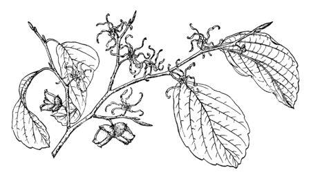Une photo montrant la branche d'hamamélis, également connue sous le nom de Hamamelis Virginiana, originaire de l'est des États-Unis, dessin de ligne vintage ou illustration de gravure.