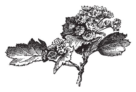 Crataegus oxycantha paulii commonly known as Paul's thorn is the showiest species. The flowers are bright scarlet and twins, vintage line drawing or engraving illustration.
