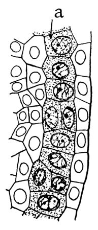 The anther and archesporium in the stages of formation of anthers and pollen grains. A diploid cell in plants that divides by meiosis to give rise to four haploid microspores, vintage line drawing or engraving illustration. Illustration