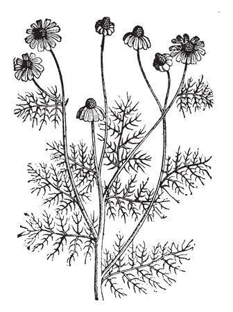 Hemlock is another highly toxic plant that can cause serious health problems. It grows to 5-8 ft tall with a smooth, green, hollow stem, usually streaked with red or purple on lower half of stem, vintage line drawing or engraving illustration.