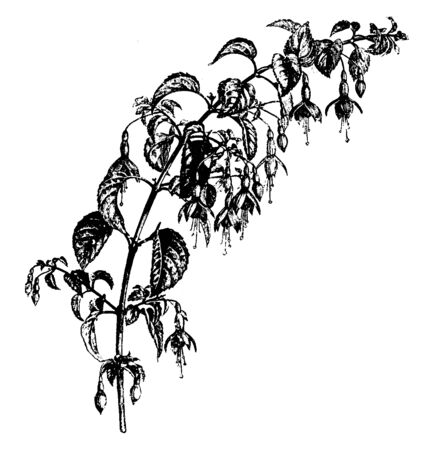 The flower of the Fuchsia Macrostema Globosa plant, round in shape, its branches grow from 5 to 6 feet, vintage line drawing or engraving illustration. Ilustracja