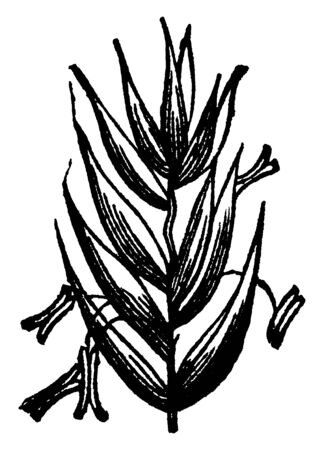This is showing part of perennial rye grass. Inner in is very rough and surface side very smooth, vintage line drawing or engraving illustration.  イラスト・ベクター素材