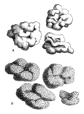 This is a image of species of Lichens where A. Lecanora esculenta, B. Lecanora affinis, vintage line drawing or engraving illustration.