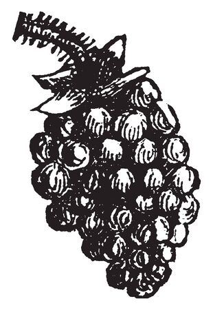 Blackberry is soft, juicy fruit having red or black colour. It is full of nutritional values, vintage line drawing or engraving illustration. Illusztráció
