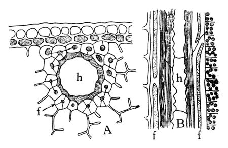 This is Leaf Resin Duct. It shows vertical and horizontal structure of leaf. Horizontal structure shows epidermis & Guard cells around the stomata cells, vintage line drawing or engraving illustration.