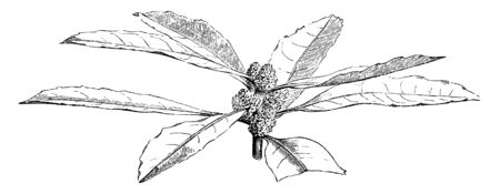 This picture contains the flowering branch of the plant Myrica Californica which has few leaves and fruit, vintage line drawing or engraving illustration.