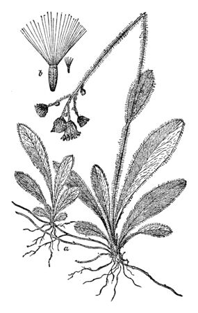 It is a low-growing plant with shallow fibrous roots. The flowering stem is usually leafless or with just one or two small leaves. The flowers are orange, almost red, vintage line drawing or engraving illustration.