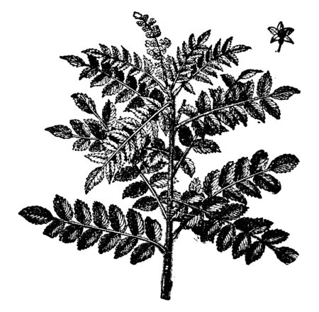 A picture showing the Branch of Tanner's Sumac tree which grows in subtropical and warm temperate regions throughout the world, especially in North America, vintage line drawing or engraving illustration. Illusztráció