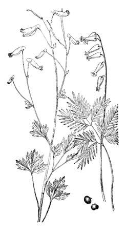 Une plante très similaire avec des fleurs jaunes est le Pale Corydalis. Les feuilles en forme de fougère de Pale Corydalis peuvent être confondues avec les culottes de Dutchman, mais la fleur est assez différente, vintage dessin ou gravure illustration.